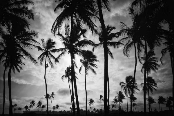 coconut-picker87139F08-B5E2-61D2-1896-2A2BDC9EA79B.jpg